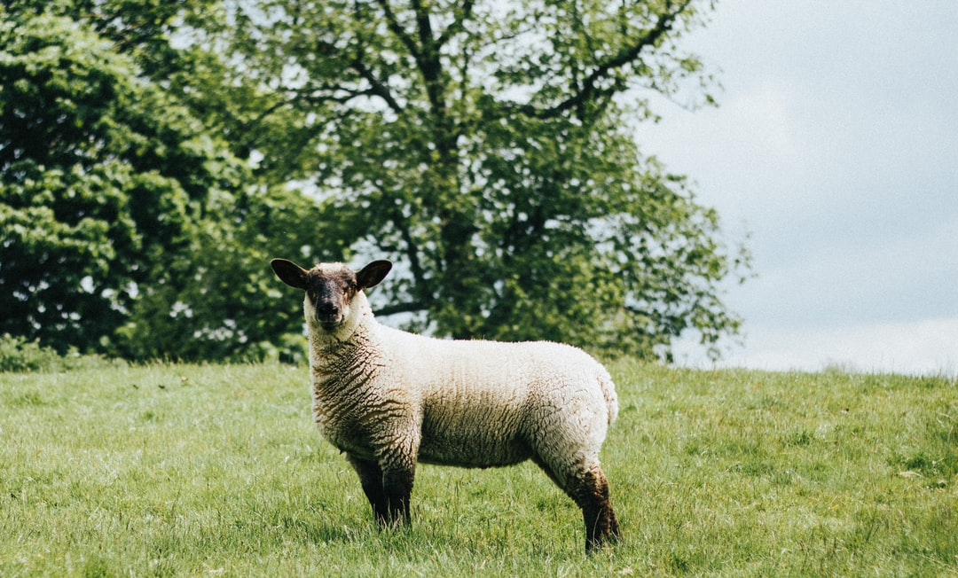 A sheep standing on top of a lush green field